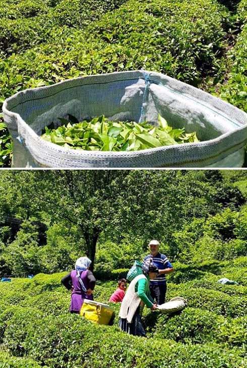 rize-çay-bahçeleri