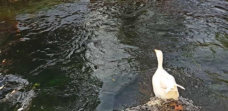 akyaka-azmak-çayı-ördekler