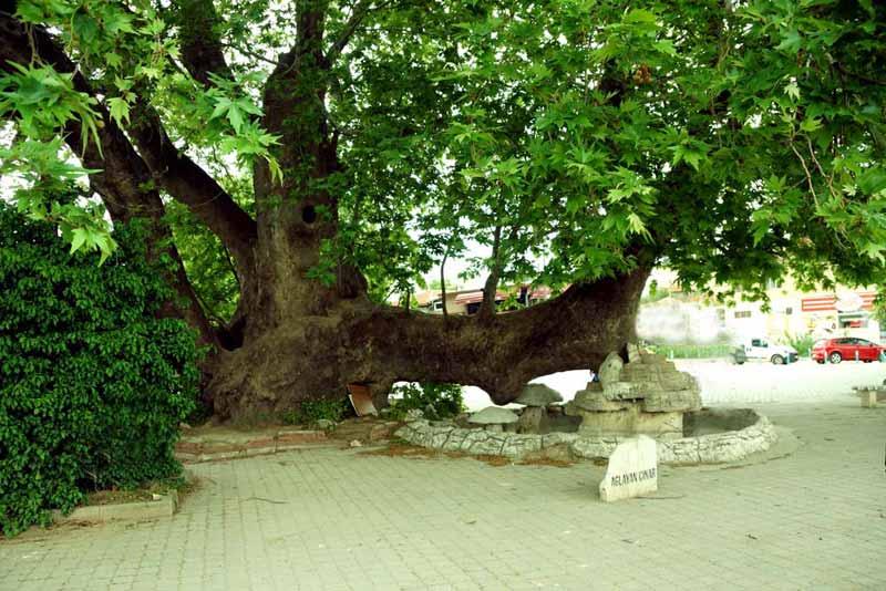 bursa Gölyazı köyü-ağlayan-ağaç