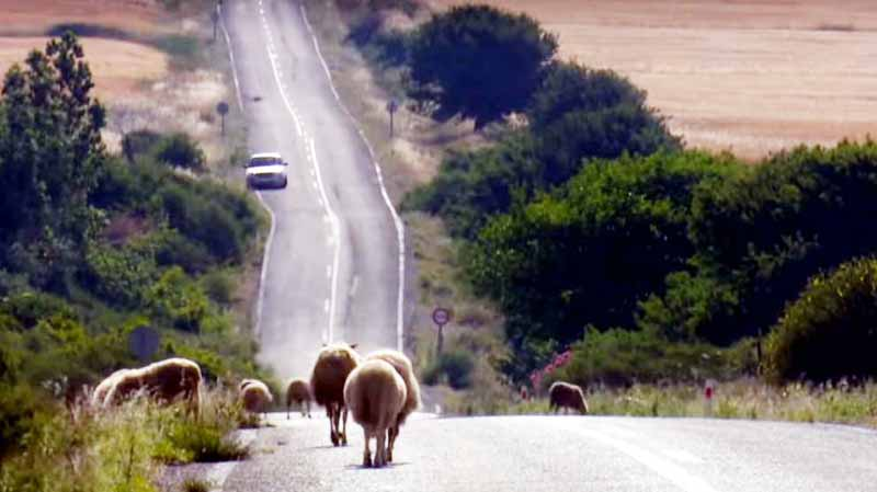 gökçeada keçileri