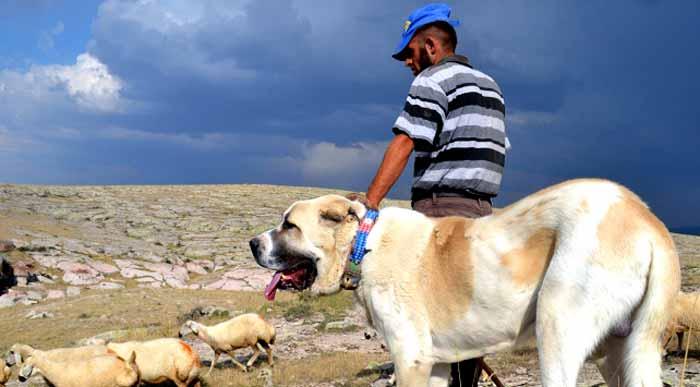 Aksaray malaklı köpekleri