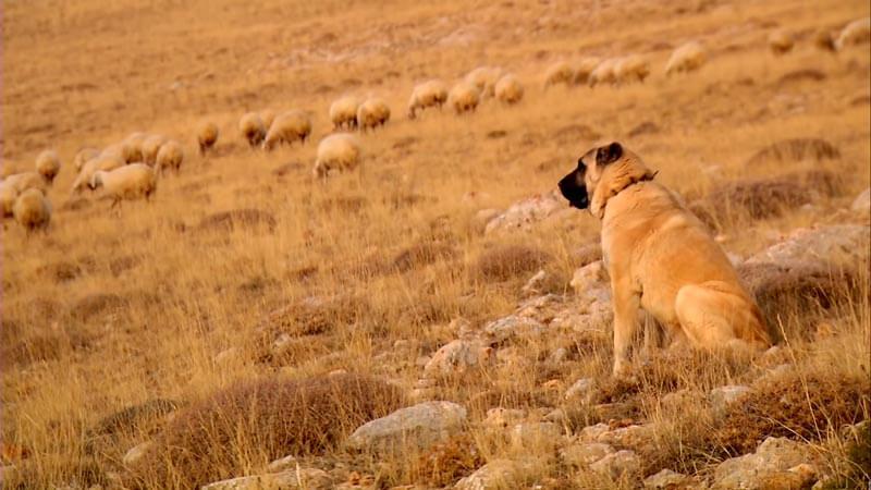 sivas-kangal-köpekleri