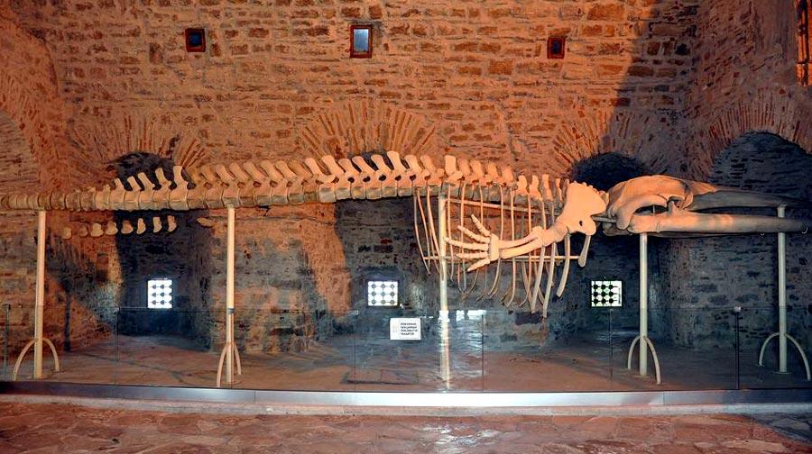Kuşadası balina iskeleti