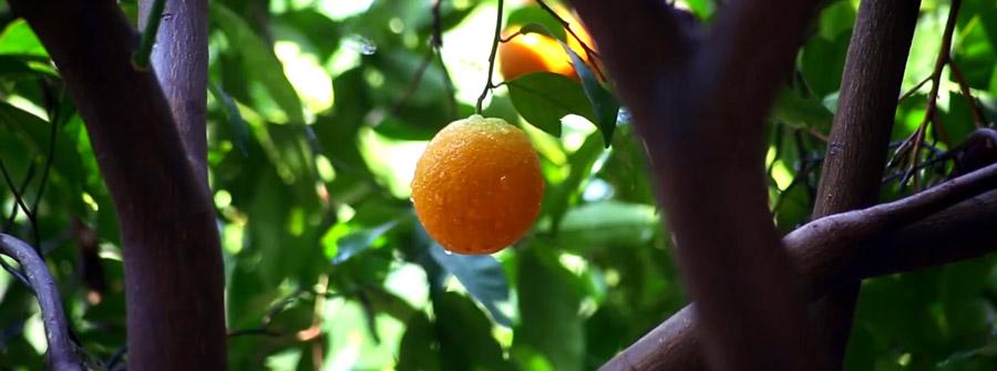 finike portakalı